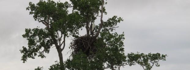 white breasted eagle